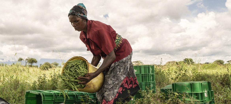 Mujer sembrando frijoles en una granja cooperativa de Taveta, Kenya.