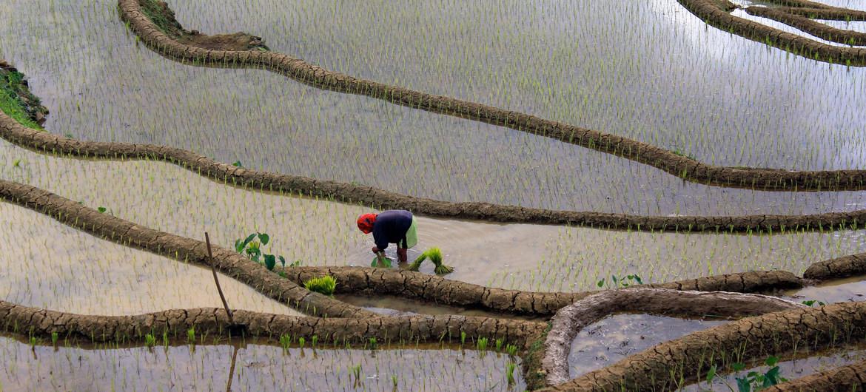 El cultivo de productos como el arroz, como se ve en la foto tomada en Filipinas, requiere una gran cantidad de agua dulce.