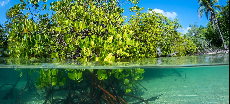Los manglares retienen emisiones de carbono y proporcionan comida y medios de vida en las áreas costeras a mil millones de personas en el mundo.