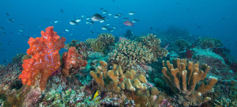 Los arrecifes de coral en las islas Fiji están amenazados por el calentamiento y el aumento de acidez de los océanos.