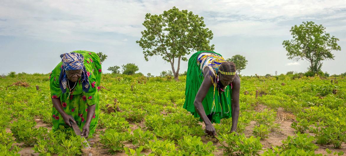 Mujeres trabajando en un sembradió en el estado de Jubek, en Sudán del Sur, donde el Programa Mundial de Alimentos promueve la agricultura sostenible para reforzar los ingresos y medios de vida.