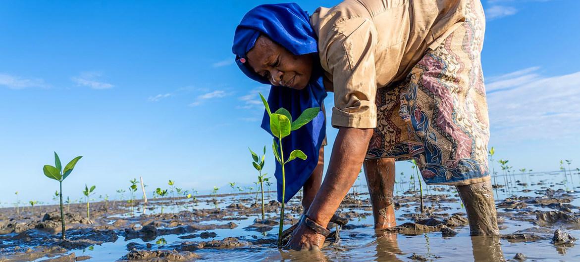 Una mujer planta árboles de manglar en Timor Oriental con el fin de revitalizar un ecosistema costero degradado.